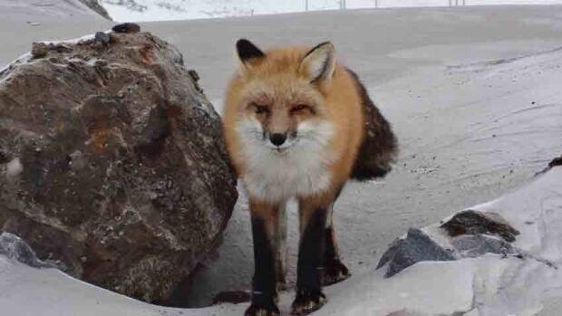 Red fox in western Labrador in Jan. 2012.