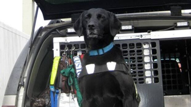 Bret, a Halifax-based Labrador retriever for the Canada Border Services Agency, will be affected by the federal job cuts.