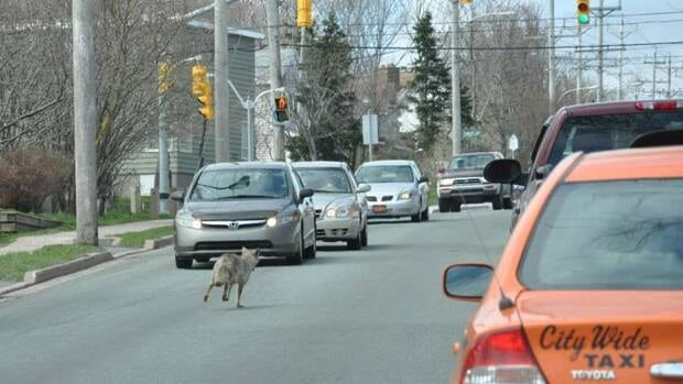 A coyote in traffic on New Cove Road, in St. John's, Tuesday.