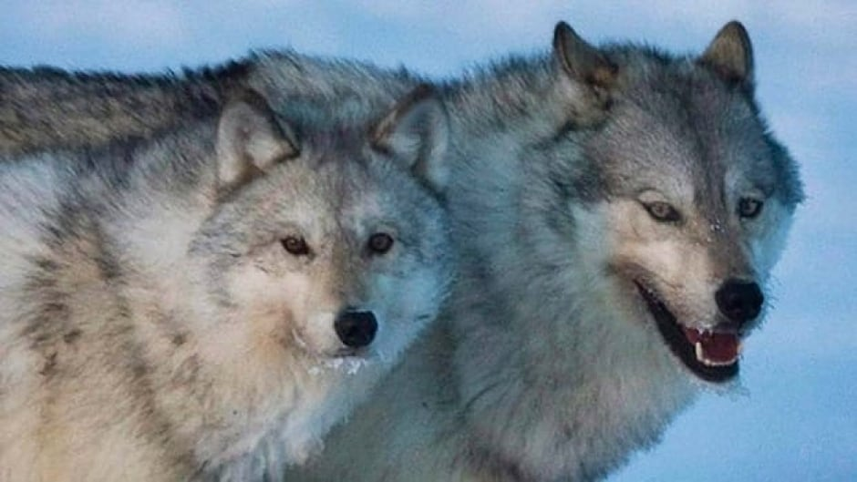 The B.C. wolf population is estimated to have increased by a small number over 20 years, but in some areas, predation is becoming a problem.