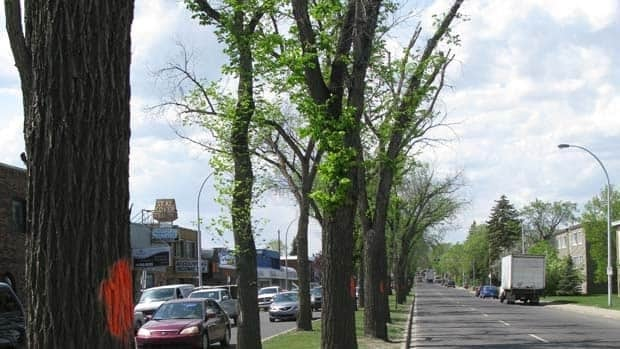 The city marked about 20 elm trees on Whyte Avenue for removal in 2010. Another 30 will be removed this week.