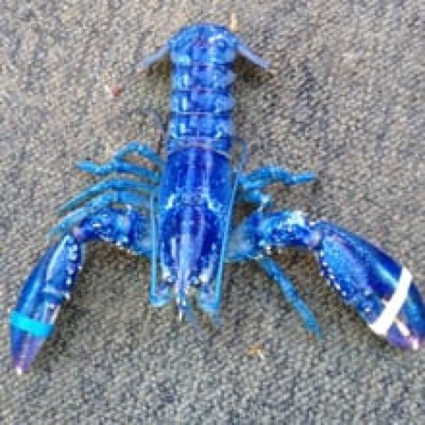 ns-ip-blue-lobster-220