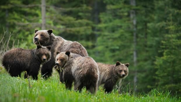 The couple was attacked by a female grizzly bear and her cubs, conservation officers say.