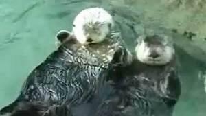 hi-bc-110819-milo-nyac-sea-otters-4col
