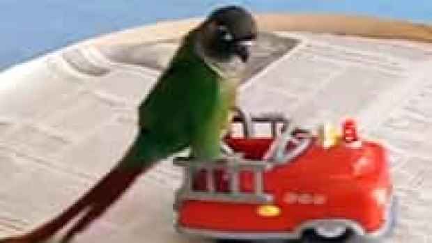 nb-parrot-caillou-firetruck