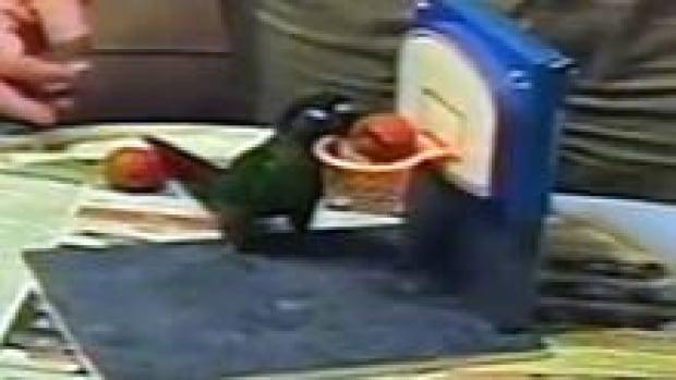 nb-parrot-caillou-basketbal