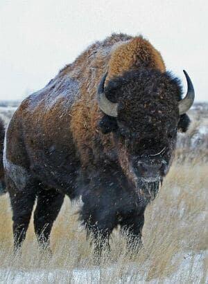 si-bison-banff-300