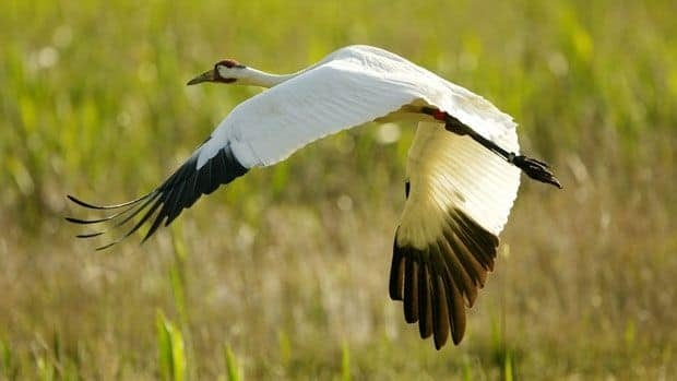 Whooping cranes migrate to N.W.T.'s Wood Buffalo National Park from the southern United States.
