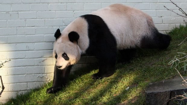 Zoo officials created a private love nest for Britain's only pair of giant pandas in hope the fertility-challenged animals will mate. Tian Tian, seen in this  December 2011 photo, is set to meet her partner again on Wednesday.