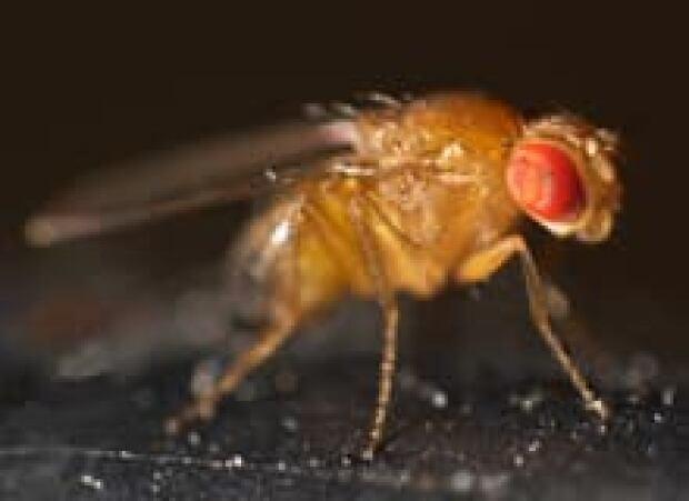 sm-220-fruit-fly-drosophila_melanogaster-mr-checker-wikimedia-commons