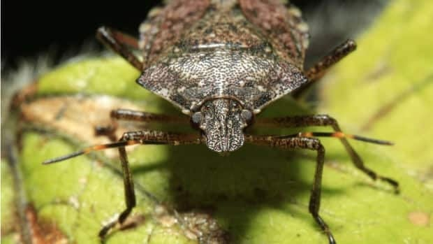 The brown marmorated stink bug, not yet found in B.C., has been spotted in 33 states and has caused millions of dollars in damages to crops.