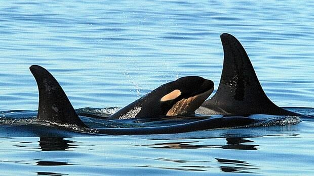 A newborn killer whale is shown swimming with other southern resident killer whales off the coast of Washington in 2006. A federal court has upheld earlier rulings that Canada's Fisheries Department must protect the endangered population.
