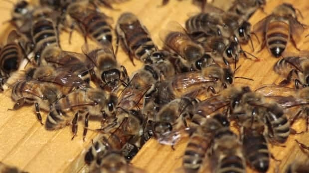 An Ontario couple say they had no idea that thousands of bees had settled in the first-floor ceiling of their home in Varney, Ont.