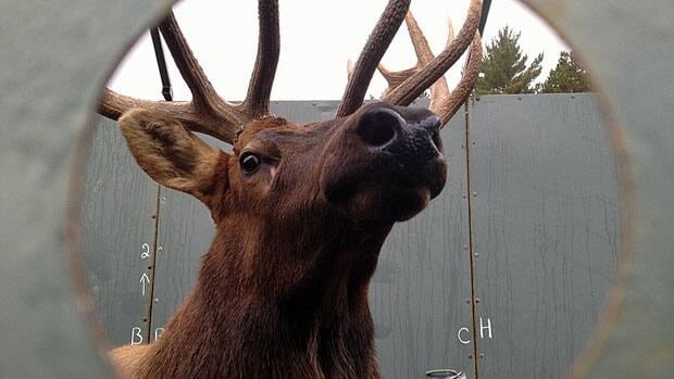 The Ministry of Natural Resources estimates there are between 648 and 916 elk in Ontario.