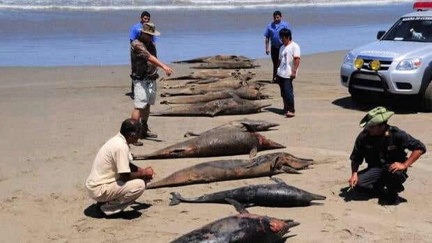 Dolphin carcasses are examined by conservationists and environmental police officers at San Jose beach in Peru on April 6, 2012. Nearly 900 dead dolphins and porpoises washed up on the shores of Peru between February and April.