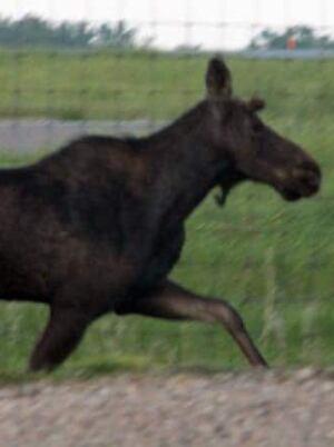hi-moose-regina