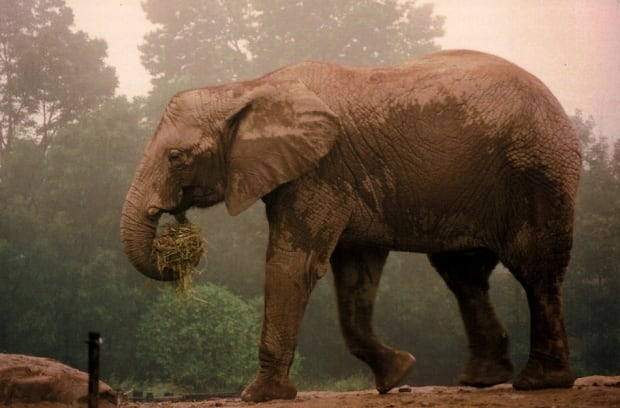 An elephant at the Toronto Zoo (undated)