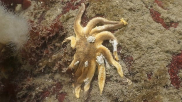 """The starfish are just decaying very fast into almost little white dust balls,"" says Nigel Cornwall, spokesman for the Marine Life Sanctuaries Society."