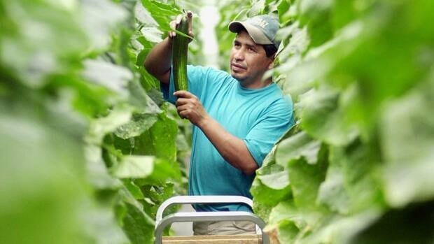 Migrant workers in Canada, like this Mexican national harvesting cucumbers in Leamington, Ont., are largely located in Ontario, Quebec and B.C., and often deal with health and safety concerns in performing their job.