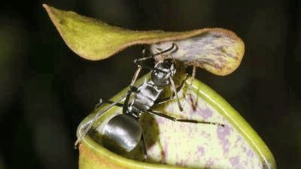 An Nepenthes gracilis pitcher plant with a visiting Polyrhachis pruinosa ant. Scientists have found that the plant uses the impact from raindrops to catapult insects into a pitcher below.