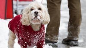 hi-toronto-snow-doggie-852-4col