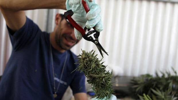 A worker trims a cannabis plant at the Tikun Olam plantation in Israel, where the company is growing medicinal marijuana with a fraction of the active ingredient THC that gets people stoned.