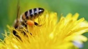 si-bee-pollen-220-cp-is