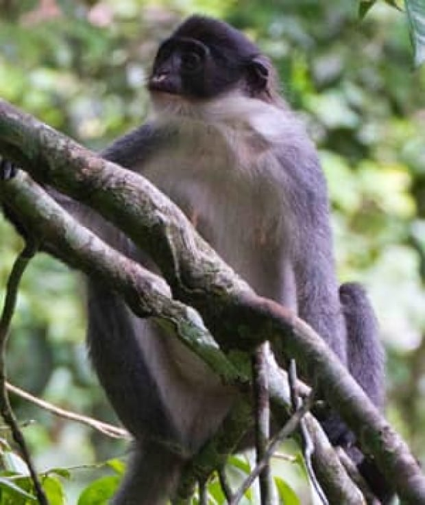 in-300-grizzled-langur-1_er