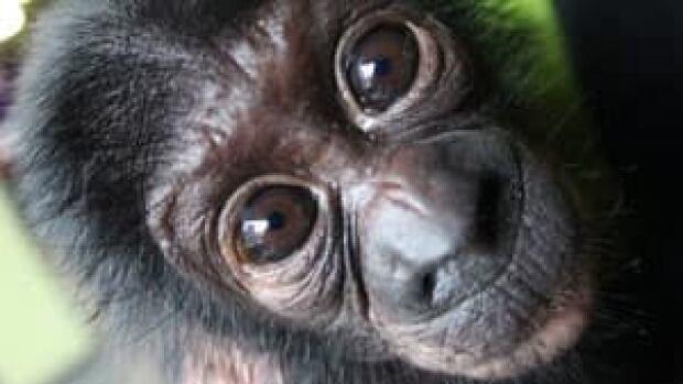 ii-great-ape-bonobo-0254593