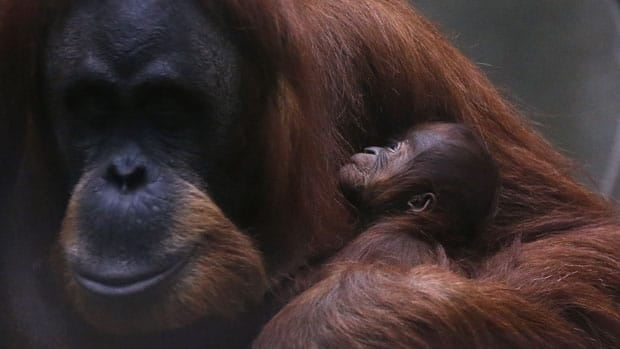 Craig Stanford, co-director of the Jane Goodall Research Center at the University of Southern California, says that four types of great apes, including orangutans, may become extinct within the next century.