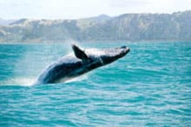 si-humpback-whale-220-istoc