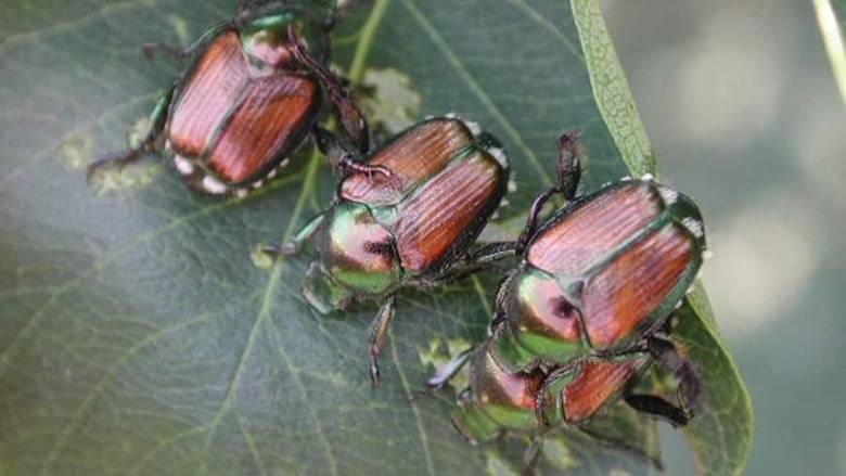 Vancouver limits plant disposal in attempt to stop spread of Japanese beetle