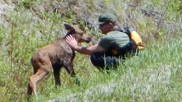 Gord Martin comforts a baby moose after rescuing it from a strong current in Black River, in northwestern Ontario.
