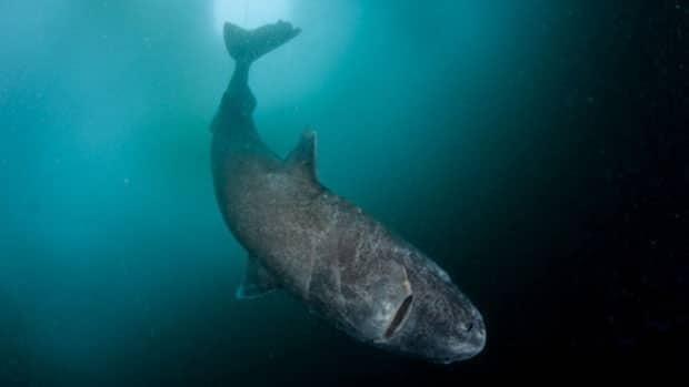 A Greenland shark swims under ice in Lancaster Sound, Nunavut.