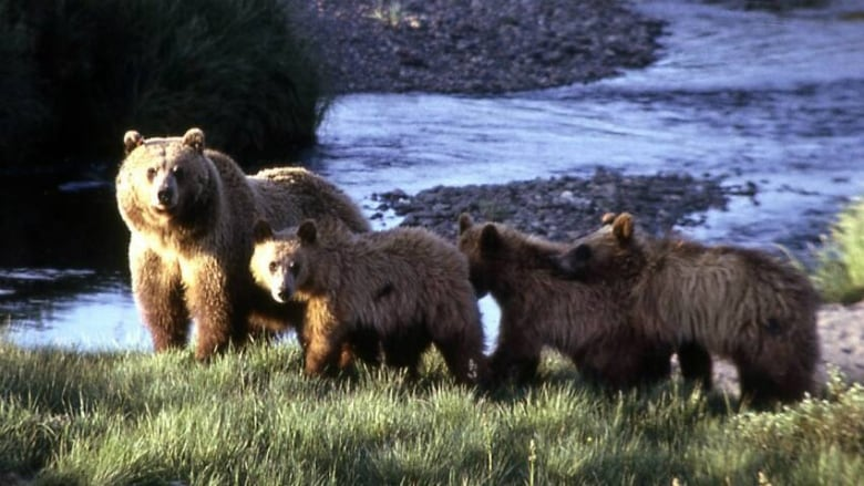 B.C. man survives attack by mother grizzly protecting her three cubs