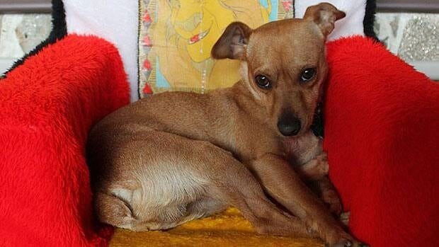 Spencer, a chihuahua, miniature-pinscher-cross, was attacked moments after being let out of the house.
