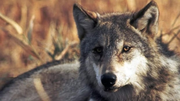 Wolf and coyote bounties lead to the killing of established populations, which opens territory to transient animals, researchers say.
