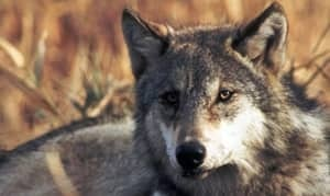 mi-wolf-file-shot-300-00501