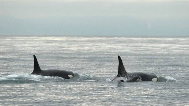Federal scientists are looking into why there seems to be more killer whales migrating north.
