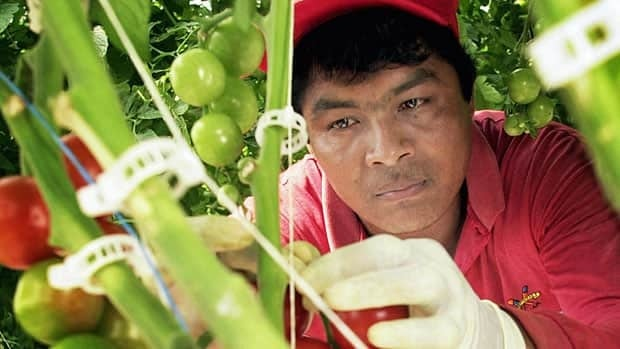 Canada is attracting an increasing number of migrant workers, like this Mexican national harvesting tomatoes in Leamington, Ont., but experts say there is a lack of enforcement when employers violate the contracts.