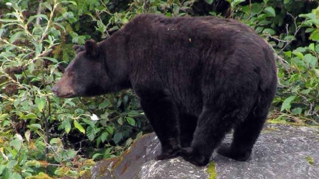 For the first time since 1999, Ontario is allowing the spring bear hunt to go ahead.