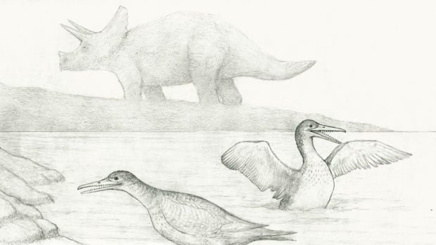 Shown here is an artist rendering of Brodavis americanus from the rivers in south-central Saskatchewan, 65 million years ago. That's a Triceratops in the background.