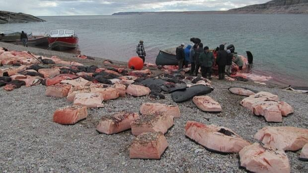 Community members in Arctic Bay, Nunavut, cut up the bowhead whale meat from the recent hunt.