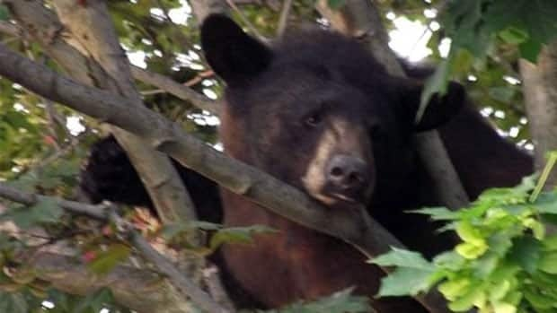 The bear cub was found high up a Kanata backyard tree Wednesday morning. (Submitted by Sue Hindle)