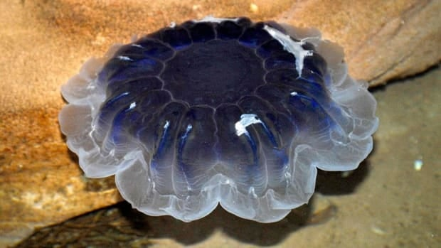 The Bluefire jellyfish at the Huntsman Marine Centre is about 45 centimetres in diameter.