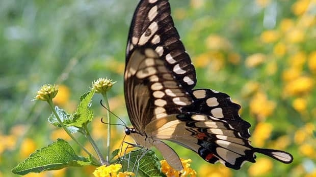 A new study suggest that the population of gaint swallowtail butterfly, and other typically warm climate species, has increased in the state of Massachusetts as a result of global warming.