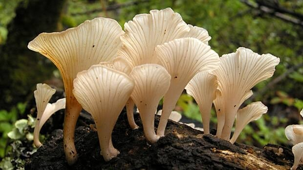 For two years, researchers have thought the high levels of barium in the wild mushroom T. venenata caused the mysterious deaths of 400 residents in southwestern China. McMaster biologist Jianping Xu has found that the suspect mushroom likely wasn't the cause of death after all. (Ying Zhang)