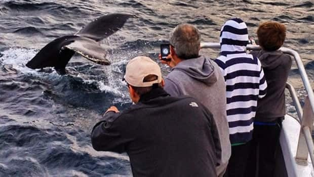 Whale watchers take photos of a rare close encounter from a pair of humpback whales off the coast of Newfoundland in this July 2012 photo.