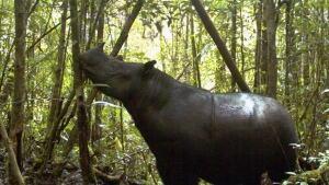 hi-sumatran-rhino-cp-030918