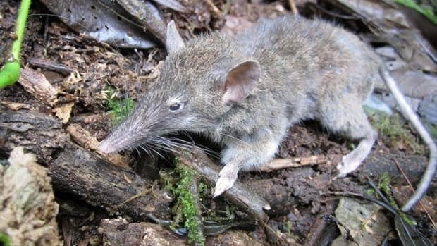 A McMaster University researcher has discovered a new species of rat that only has incisors. It is called paucidentomys vermidax, which means few toothed mouse, devourer of worms. (McMaster Daily News)